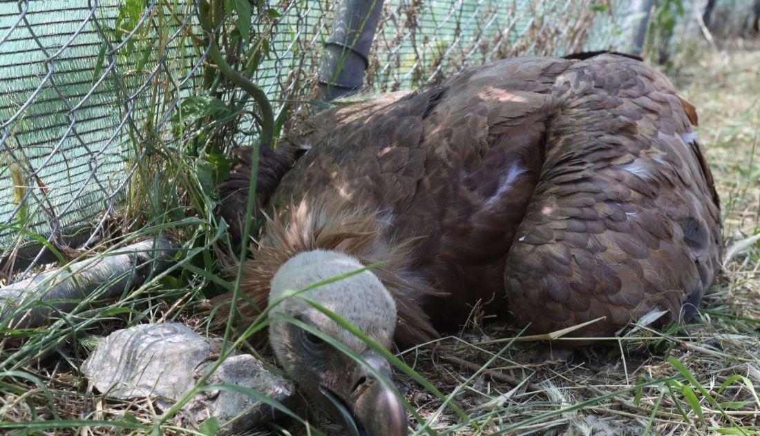 Buitre envenenado recuperándose en Las Dunas | SA24HORAS