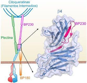 Resultado de imagen de proteinas que contribuyen a la resistencia mecanica de la piel