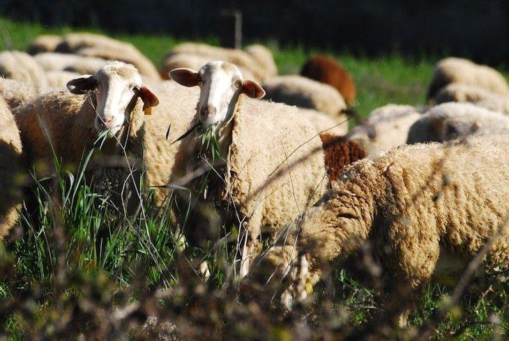 El tipo de explotación ganadera influye en la leche de oveja