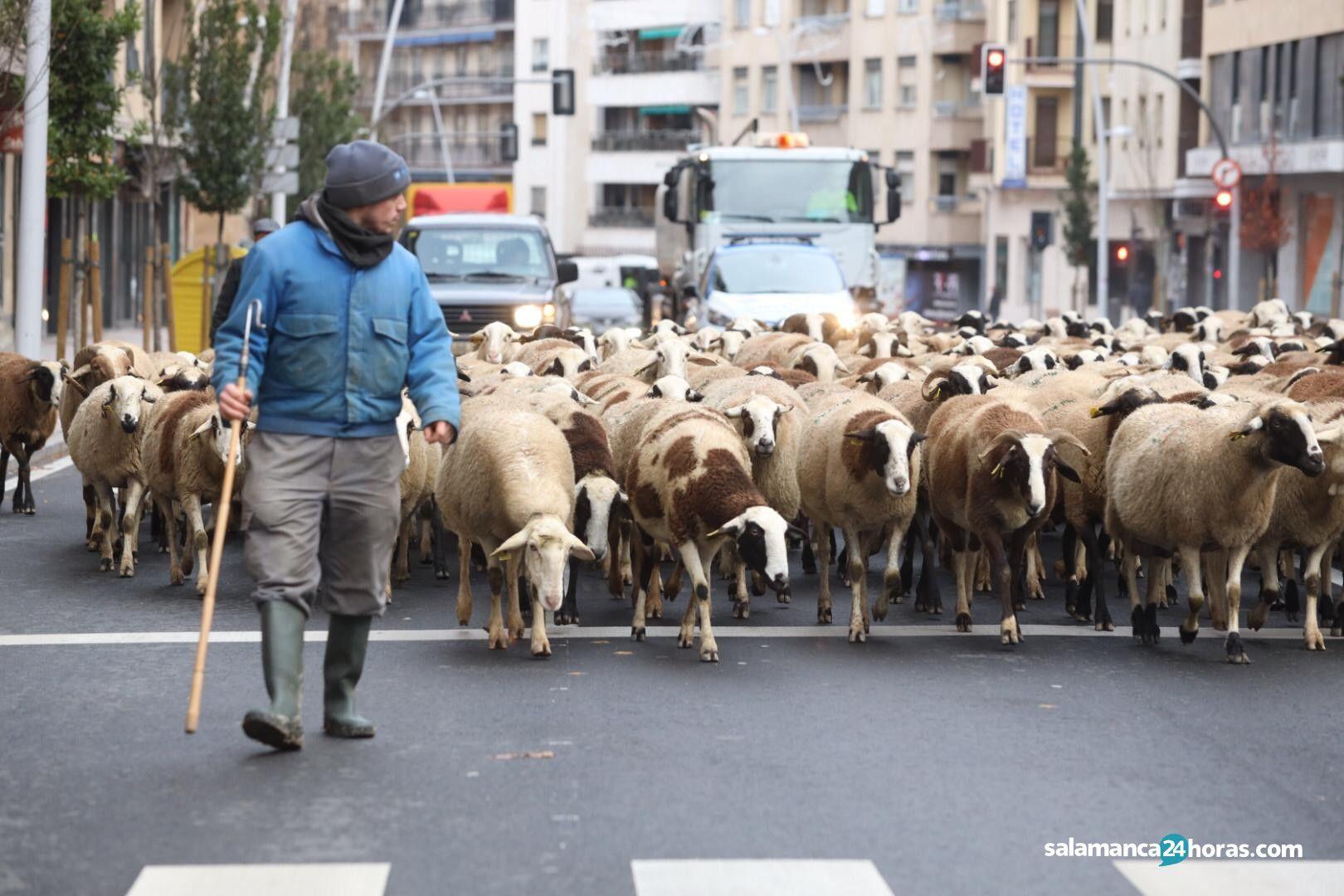 Rebaño ovejas (17)