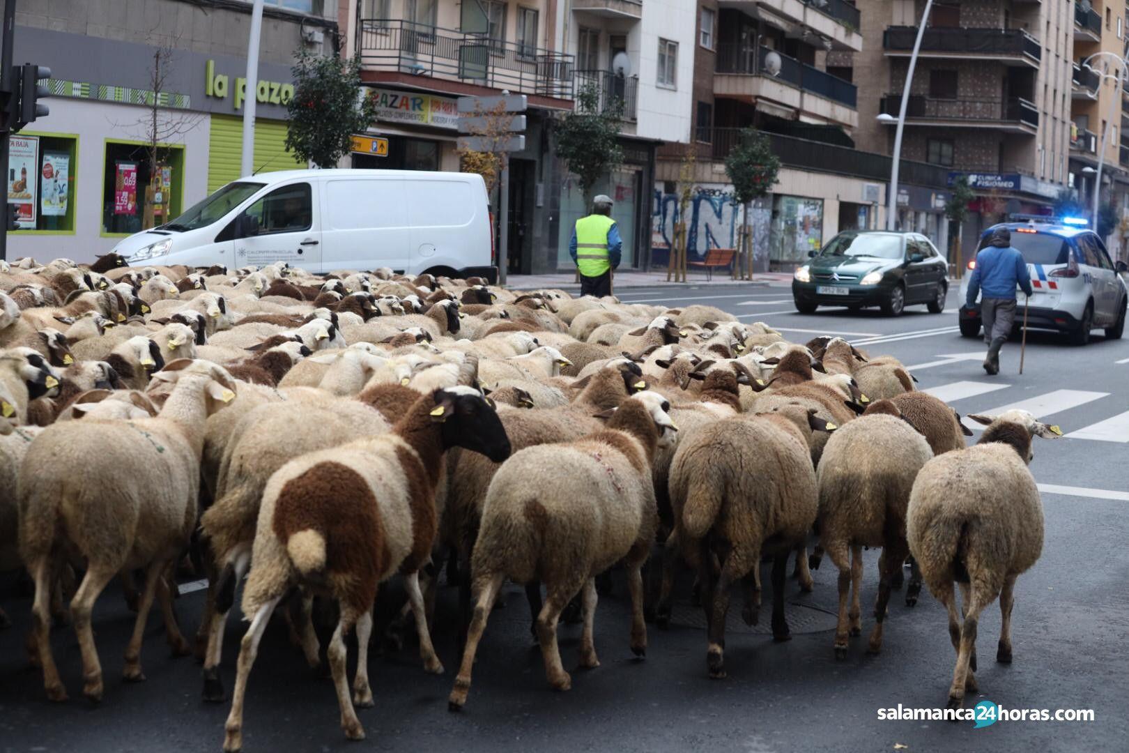 Rebaño ovejas (1)