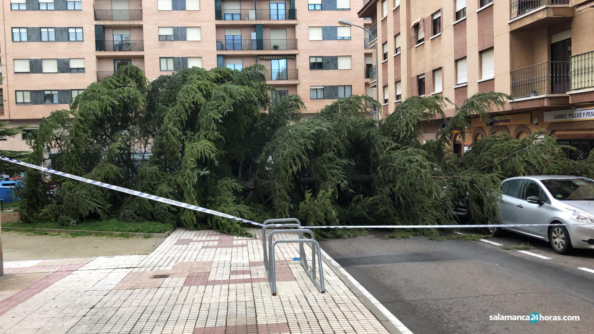 árbol caído en calle corregidor caballero llanes