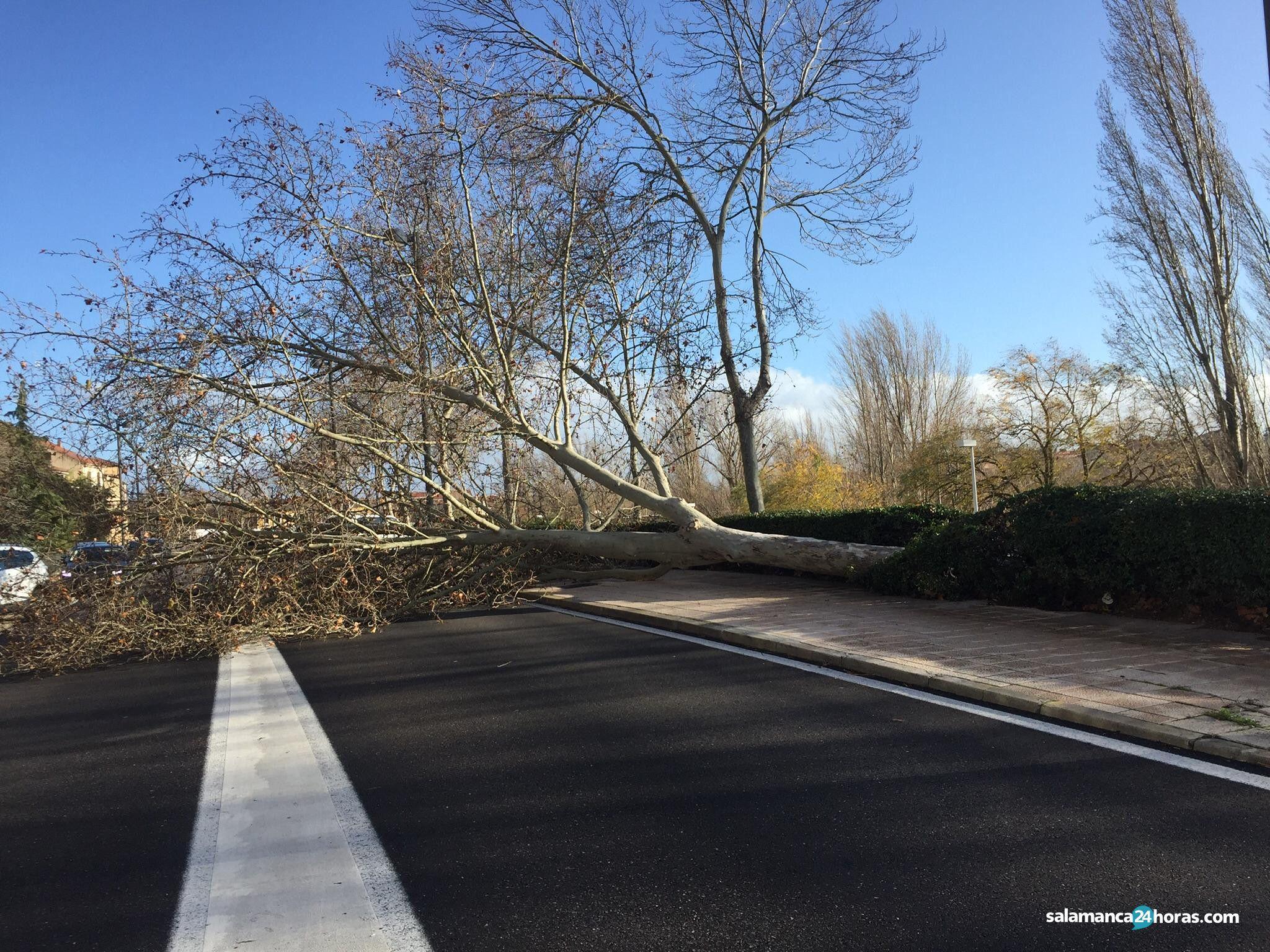árbol caído en Rector Esperabé (3)