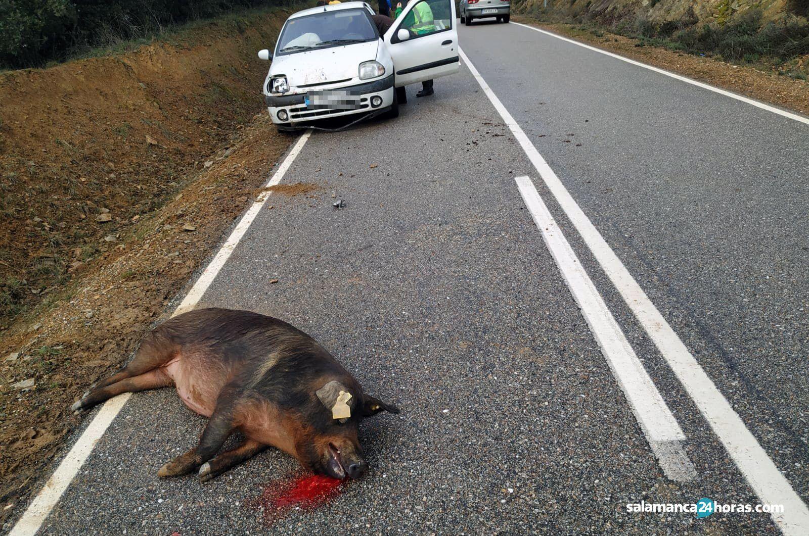 Accidente cerdo 2