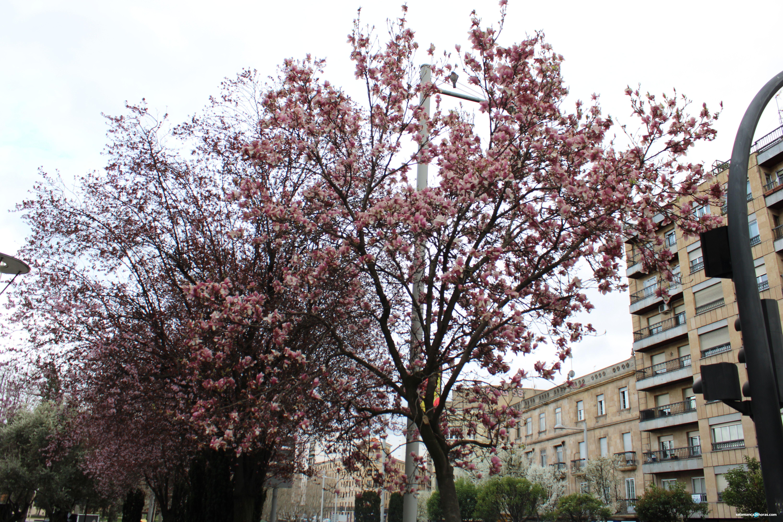 árboles floreciendo (1)