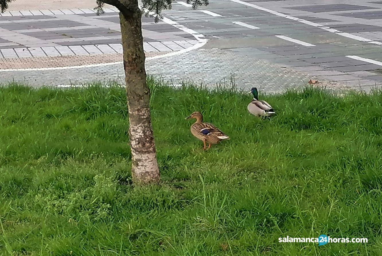 Patos avenida Federico Anaya (1)