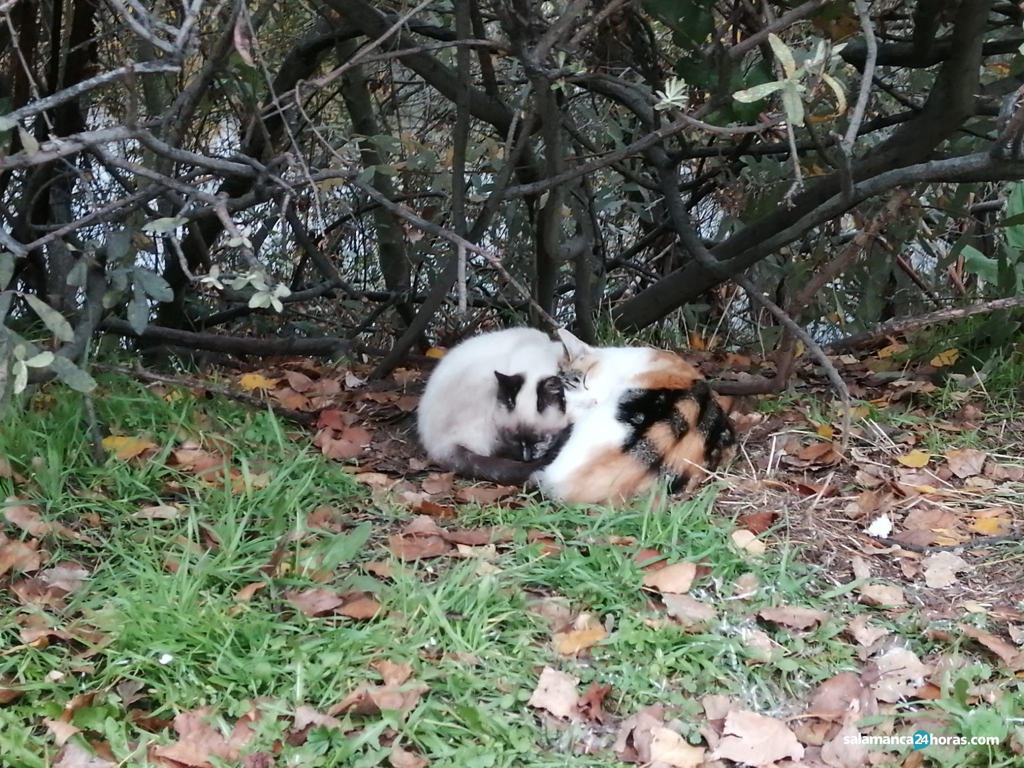 Colonia de gatos de la Vía Helmántica río Tormes (21)
